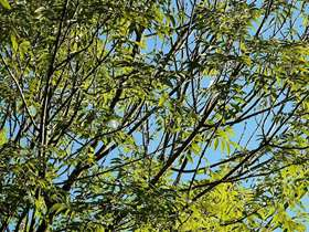 Ash trees at risk from infectious disease